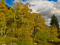Tinges of pale green mark the transition for these mostly golden leaves in a campground at Lundy Lake,