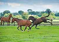 Racehorse running in a field, Cheshire.