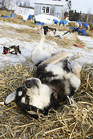 """"""" Sydney """" one of Robert Nelson Jrs. dogs scratches her back on the freshly layed straw shortly after their arrival at Shageluk checkpoint on Saturday morning    Iditarod 2009"""