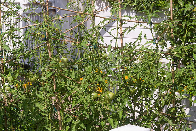 Tomato 'Tye-Dye' growing in green stage on plant, trellised staked