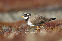 Female Common Ringed Plover (Charadrius hiaticula) on its breeding grounds in Russia. Chukotka, Russia. June.