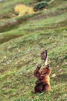 Juvenile grizzly bear scratches back and shoulders on a the wooden Thorofare pass sign, Denali National Park, Alaska
