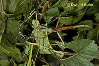 OR07-521z  Walking Stick Insect female, camouflaged on tree,  Acrophylla wuelfingi