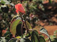 A rose bud in stem