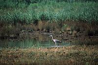 Europe/France/Aquitaine/33/Gironde/Bassin d'Arcachon: Parc Ornithologique du Teich: oiseau échassier Héron Gris