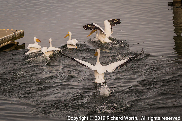A wild flurry of wings and splashing water as American White Pelicans add excitement to a winter afternoon at Lake Chabot in the foothills east of San Francisco Bay.