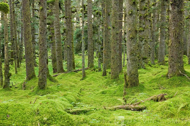 Spruce trees and Moss, coastal forest, Kodiak Island, Alaska USA.