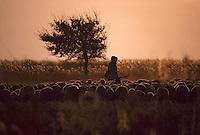 Europe/France/Provence-Alpes-Côte d'Azur/13/Bouches-du-Rhône/Camargue: Berger, brebie et chèvre au soleil couchant