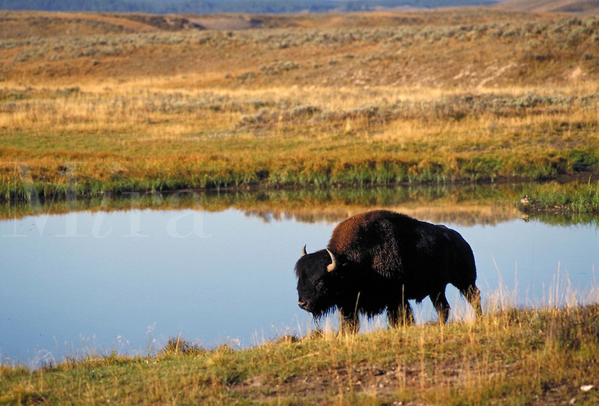 Lone bison grazing by water in Yellowstone National Park. Yellowstone National Park Wyoming USA.