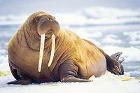 walrus, Odobenus rosmarus, bull on the pack ice, Bering Sea, Arctic Alaska