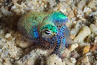 hummingbird bobtail squid, Euprymna berryi, aka Berry's bobtail squid, Milne Bay, Papua New Guinea, Pacific Ocean