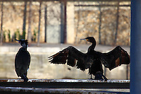 These are members of a group of cormorants -Phalacrocorax carbo- that was used to stay along the Seine river, near the mouth of the Canal the Sain Martin. Here they are resting, on the background of the trees of the opposite side (Paris, 2010).<br /> <br /> Questi sono membri di un gruppo di cormorani che era solito stare lungo la Senna, vicino all'imbocco del Canale di San Martino. Qui stanno riposando, sullo sfondo degli alberi del lato opposto (Parigi, 2010).