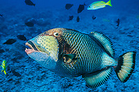moustache, giant, or titan triggerfish, Balistoides viridescens, open mouth threat display while guarding nest, Moorea, Society Islands, French Polynesia, near Tahiti (South Pacific Ocean)