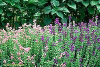 HA22-135x  Salvia - Oxford Blue and Pink Sundae varieties - Salvia spp.