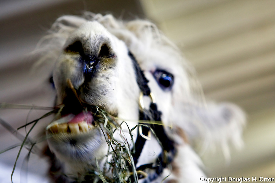 Llama chews hay at Western Washington State Fair in Puyallup, Washington.  Odd llama with character in face.