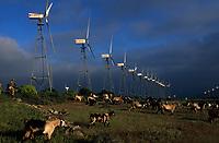 Europe/Espagne/Canaries/Lanzarote/Los Valles : Parc d'éoliennes et berger avec son troupeau de chèvres