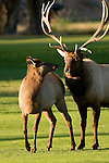 American elk, wapiti, Cervus elaphus, October, fall, autumn, evening, urban, wildlife, Estes Park, Colorado, USA