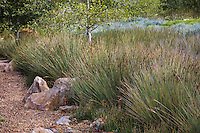 Rushes (Juncus pallidus) along rock lined drainage swale in urban park landscape design meadow garden, Jeffrey Open Space, Irvine California