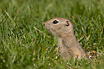 I found a huge family of baby gophers today.  They don't really look all that different from the adults (especially in the pictures) but they really are much smaller.  In fact they are less than half the size of a full grown animal, and very cute!..©2009, Sean Phillips.http://www.Sean-Phillips.com