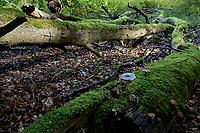 GERMANY, Ruegen, beech forest / DEUTSCHLAND, Mecklenburg-Vorpommern, intakter Wald, Laubwald mit Buchen im Nationalpark Jasmund