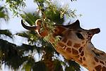 Reticulated giraffe feeding
