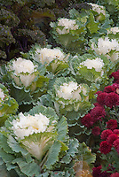 Ornamental kale Pigeon White with chrysanthemums