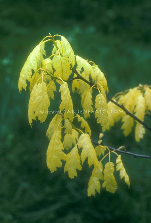 Quercus rubra 'Aurea' golden oak