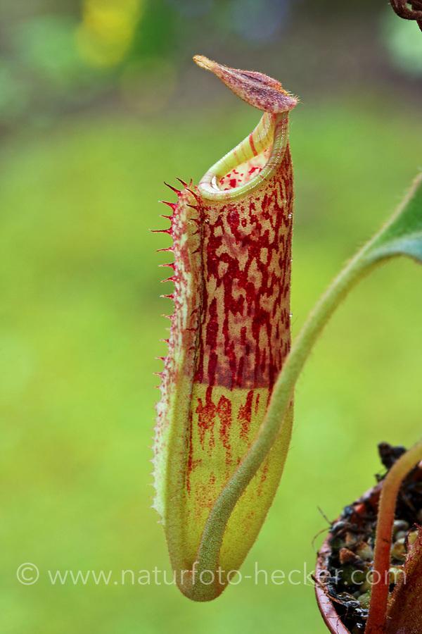 Kannenpflanze, Nepenthes flava, Kannenpflanzengewächse, Nepenthaceae, tropical pitcher plants