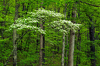 Blooming dogwood trees in spring forest, Foothills Parkway East, Great Smoky Mountains National Park