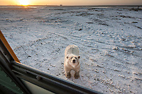 Polar bear shows curiosity with a school bus at Kaktovik, Barter Island, Arctic, Alaska.