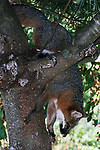Gray fox climbing down tree.  This species is the only fox in North America that can climb to escape other predators such as the invasive coyote.