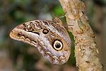 Resting owl-eye butterfly (Caligo sp), Amazonia, Napo River, Ecuador, South America.