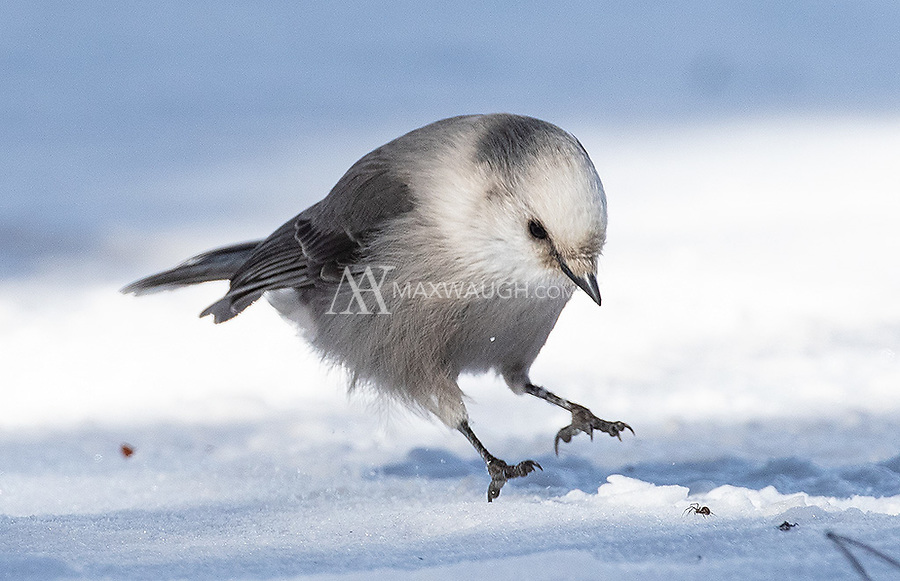 One of the coolest finds on this trip was seeing Canada Jays and Clark's Nutcrackers hunting spiders in the snow!