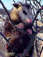 MA30-012z  Virginia Opossum  Didelphis virginiana ©Dave Kuhn/Dwight Kuhn Photography.