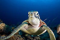 A Green turtle, Chelonia mydas, rests on a plateau along the barrier reef of Palau, Micronesia, Pacific Ocean