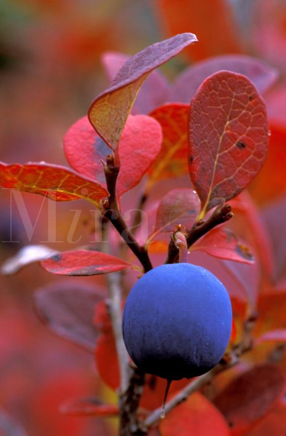 Bog Blueberry (Vaccinium uliginosum).  Denali National Park, Alaska.