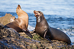 La Jolla, California; a bull male vocalizes while a female and several juvenile California sea lions bask in early morning sunlight, while resting on the rocky shoreline along the Pacific Ocean