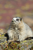 Younger Hoary Marmot (Marmota caligata) sitting on rock.  Northern Rocky Mountains.  Sept.