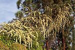 ROSA BANKSIAE LUTEA, YELLOW LADY BANKS ROSE, CLIMBING CANARY ISLAND PINE TREE
