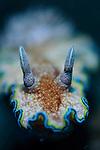 Glossodoris cincta nudibranch, Bima, Sumbawa, Nusa Tenggara, Indonesia, Pacific Ocean