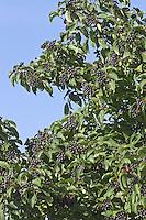Blutroter Hartriegel, Früchte, Cornus sanguinea, Common Dogwood, Dogberry, Cornouiller sanguin