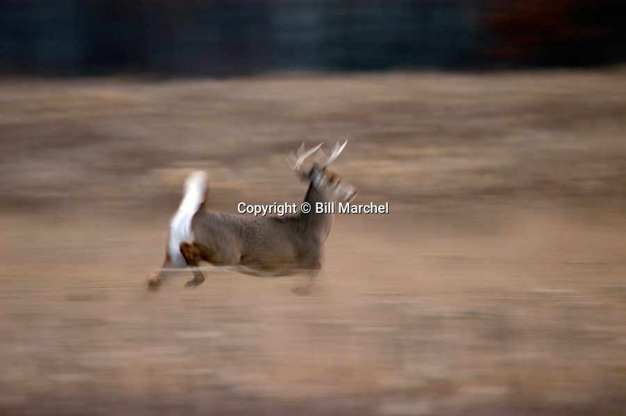 00274-303.20 White-tailed Deer Buck (DIGITAL) with 8-pt. antlers is running with tail raised across meadow during fall.  H3R1
