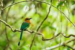 Broad-billed Motmot (Electron platyrhynchum), Panama Rainforest Discovery Center, Gamboa, Panama
