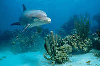 common bottlenose dolphin, Tursiops truncatus, named, Honey, a wild, sociable dolphin, or ambassador dolphin, Lighthouse Reef, Belize, Caribbean Sea, Atlantic Ocean