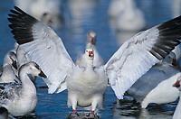Birds: ducks geese gulls