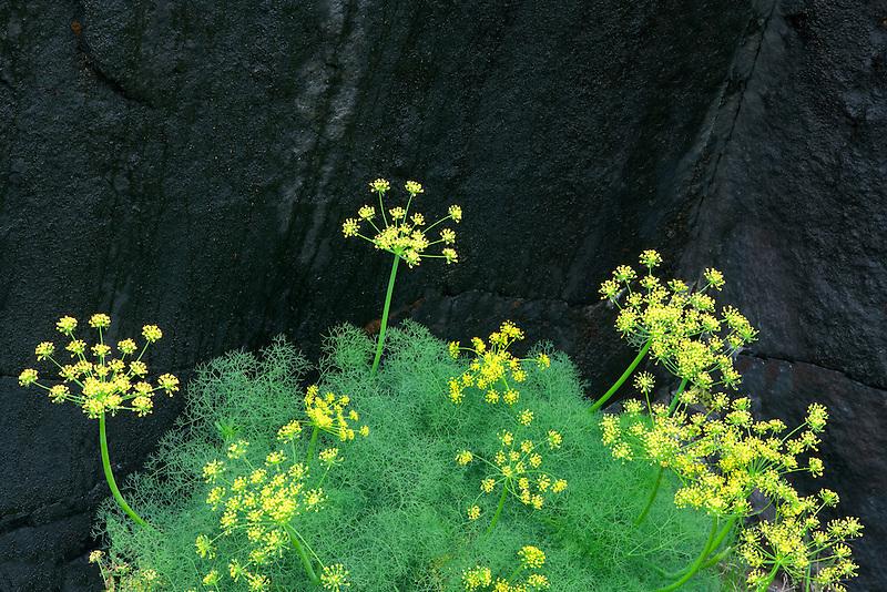 Pungent Desert Parsley (Lomatium grayi) and black rock. Columbia River Gorge National Scenic Area, Washington