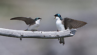 While waiting on some grizzly bears, I was able to photograph some fun moments with Tree swallows nearby.