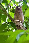 Crested Owl (Lophostrix cristata). Lowland rainforests near Cristalino Jungle Lodge, Cristalino State Park, Brazil.