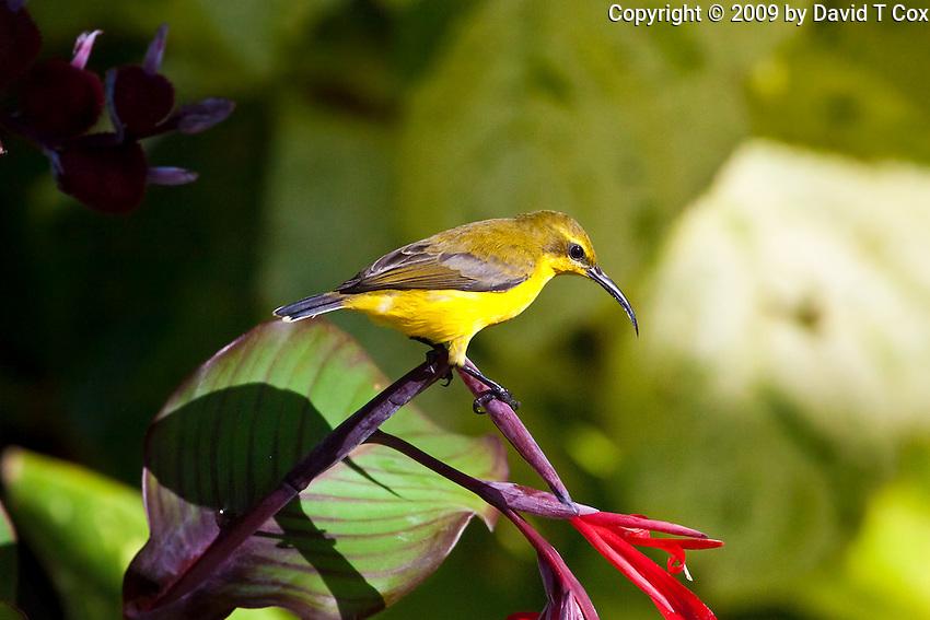 Oliive-backed Sunbird female, Etty Bay, Queensland, Australia