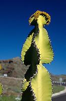 Spanien, Kanarische Inseln, Gomera, succulente Wolfsmilch